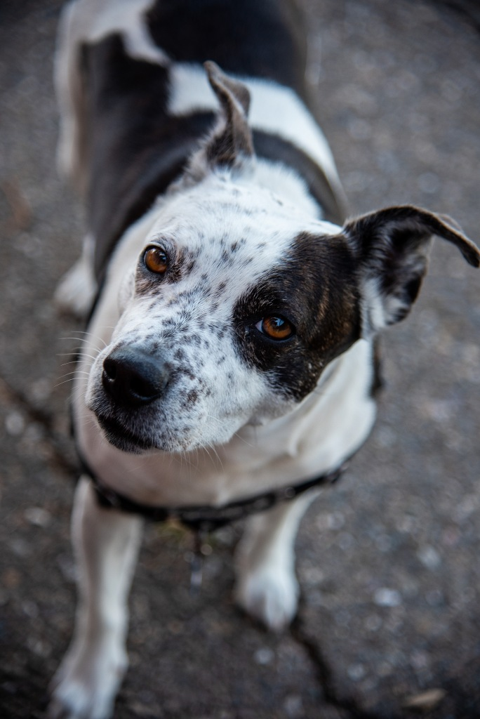A brown and white dog looking at the camera  Description automatically generated
