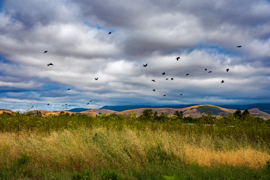 A flock of birds flying over a grassy field  Description automatically generated