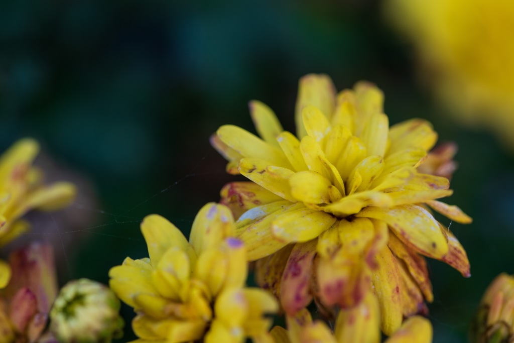 A close up of a yellow flower  Description automatically generated